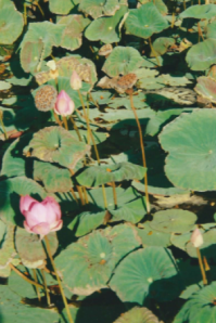Lotus pond. Photo by JT