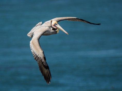 Pelican_in_Flight_Photo_by_Alfred_Leung_on_Unsplash.jpg